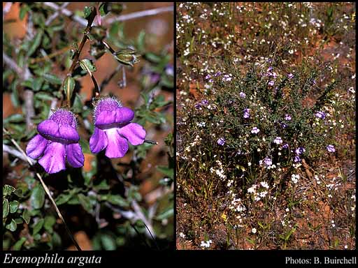 Photo of Eremophila arguta Chinnock