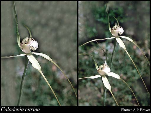 Photo of Caladenia citrina Hopper & A.P.Br.
