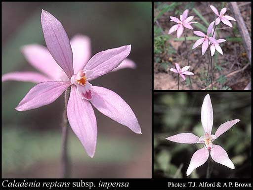 Photo of Caladenia reptans subsp. impensa Hopper & A.P.Br.