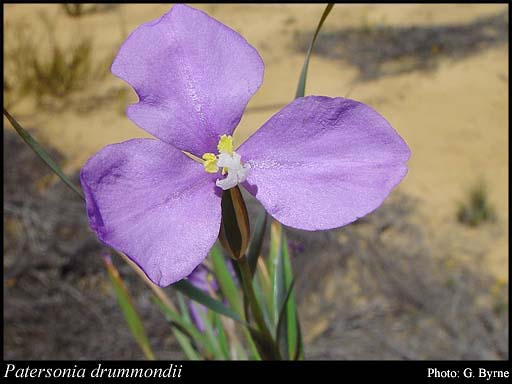 Photo of Patersonia drummondii Benth.