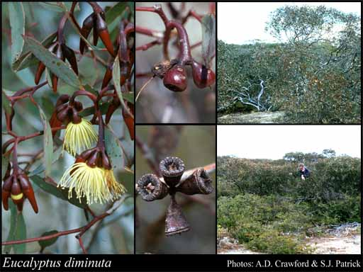 Photo of Eucalyptus diminuta Brooker & Hopper