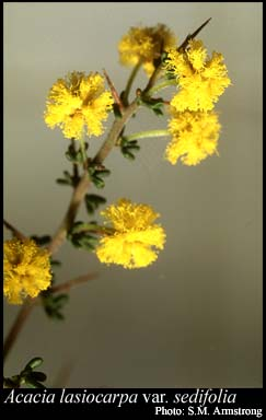 Photo of Acacia lasiocarpa var. sedifolia (Meisn.) Maslin