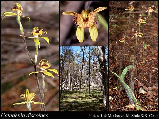Photo of Caladenia discoidea Lindl.