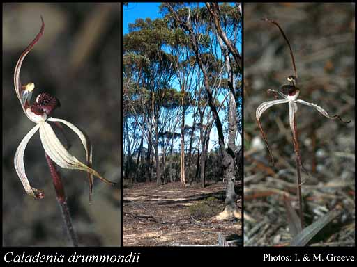 Photo of Caladenia drummondii Benth.