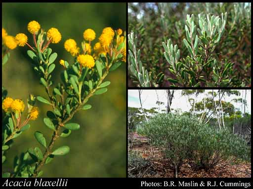 Photo of Acacia blaxellii Maslin
