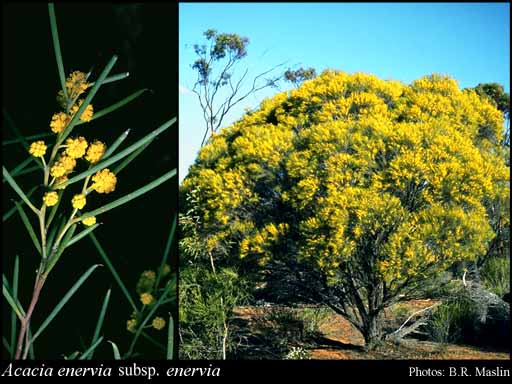 Photo of Acacia enervia Maiden & Blakely subsp. enervia