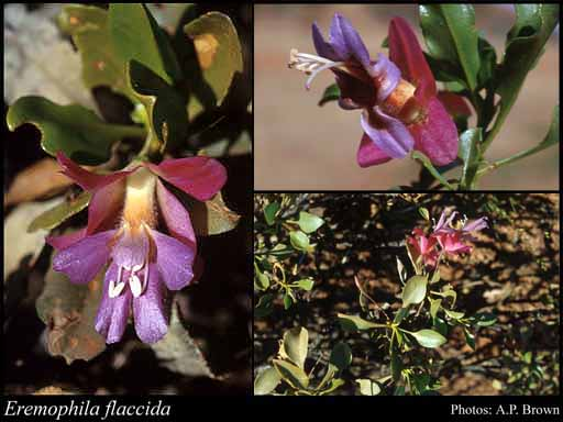 Photo of Eremophila flaccida Chinnock