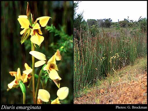 Photo of Diuris emarginata R.Br.