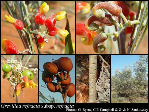 Photo of Grevillea refracta R.Br. subsp. refracta