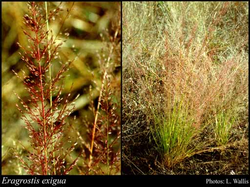 Photo of Eragrostis exigua Lazarides