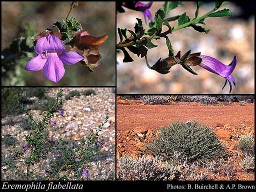 Photo of Eremophila flabellata Chinnock