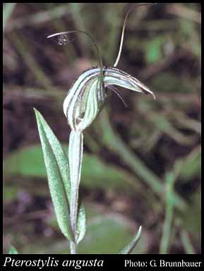 Photo of Pterostylis angusta A.S.George