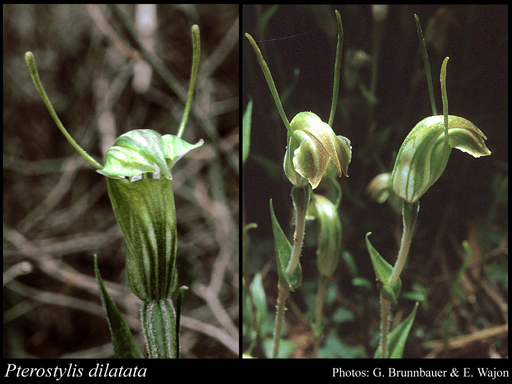 Photo of Pterostylis dilatata A.S.George