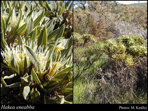 Photo of Hakea eneabba Haegi