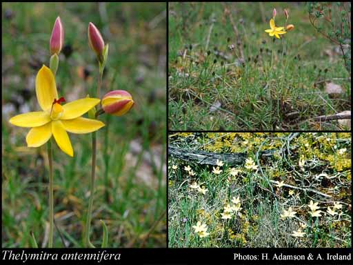 Photo of Thelymitra antennifera (Lindl.) Hook.f.