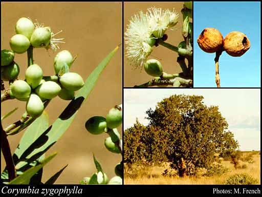 Photo of Corymbia zygophylla (Blakely) K.D.Hill & L.A.S.Johnson