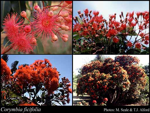 Photo of Corymbia ficifolia (F.Muell.) K.D.Hill & L.A.S.Johnson