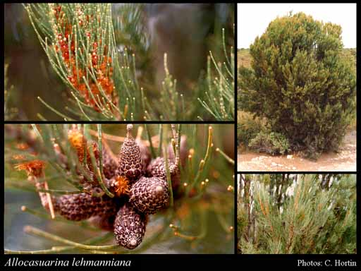 Photo of Allocasuarina lehmanniana (Miq.) L.A.S.Johnson