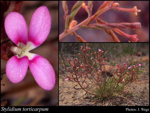 Photo of Stylidium torticarpum Lowrie & Kenneally