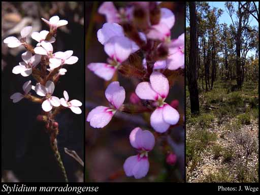 Photo of Stylidium marradongense Lowrie & Kenneally
