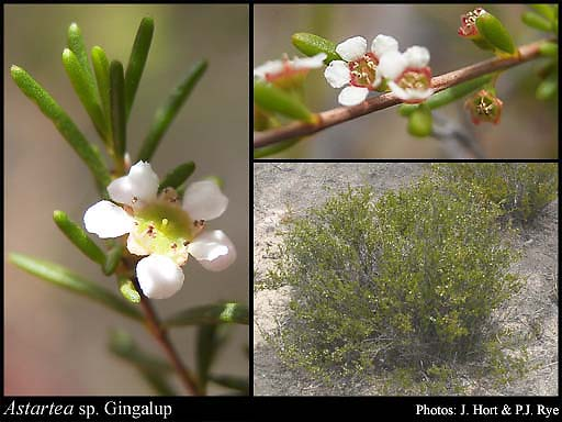 Photo of Astartea sp. Gingalup (N. Gibson & M. Lyons 119)