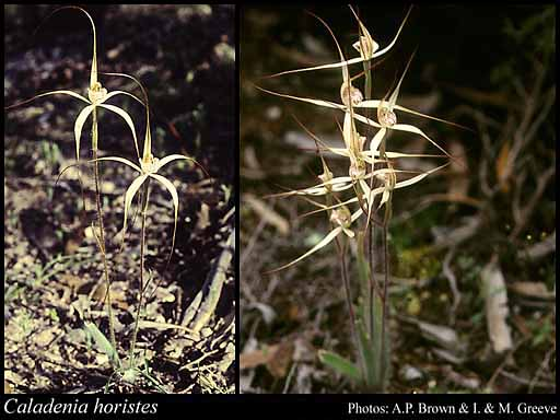 Photo of Caladenia horistes Hopper & A.P.Br.