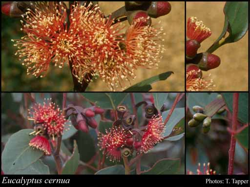 Photo of Eucalyptus cernua Brooker & Hopper