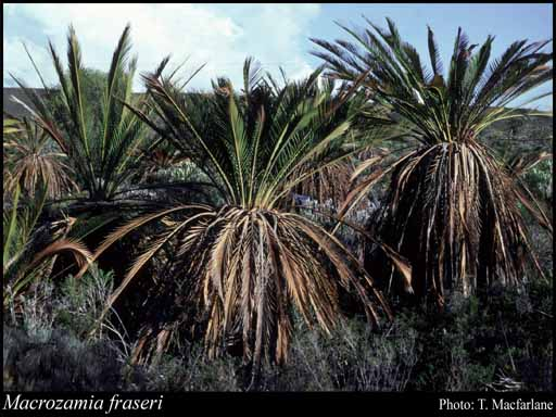 Photo of Macrozamia fraseri Miq.
