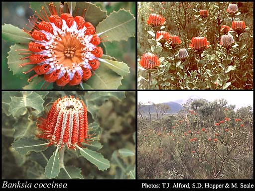 Photo of Banksia coccinea R.Br.