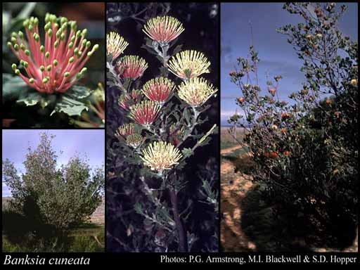 Photo of Banksia cuneata A.S.George