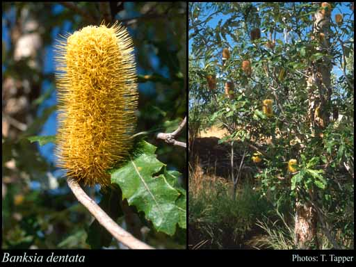 Photo of Banksia dentata L.f.
