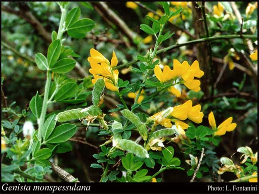Photo of Genista monspessulana (L.) L.A.S.Johnson
