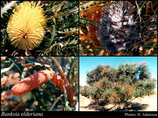 Photo of Banksia elderiana F.Muell. & Tate