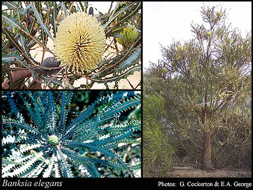 Photo of Banksia elegans Meisn.