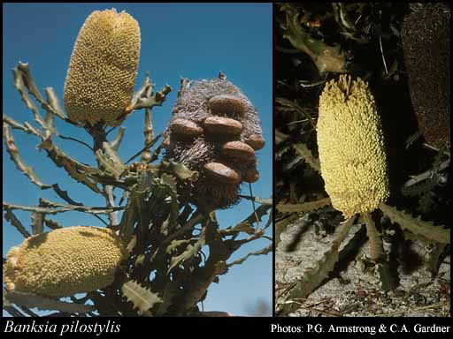 Photo of Banksia pilostylis C.A.Gardner