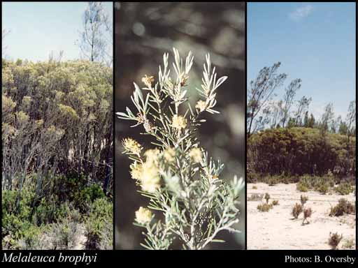 Photo of Melaleuca brophyi Craven