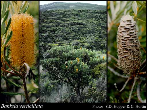 Photo of Banksia verticillata R.Br.