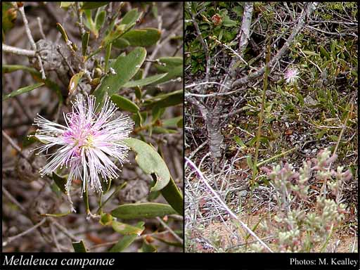 Photo of Melaleuca campanae Craven