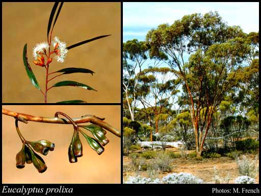 Photo of Eucalyptus prolixa D.Nicolle