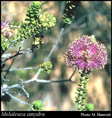 Photo of Melaleuca amydra Craven
