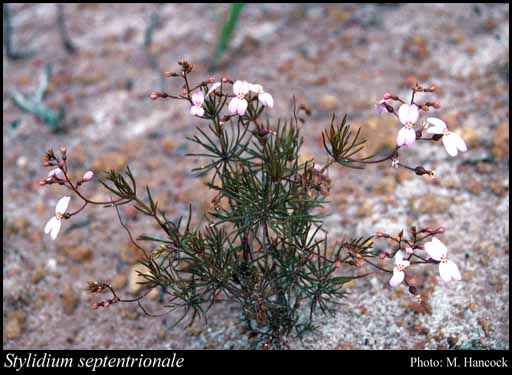 Photo of Stylidium septentrionale (Milbr.) Lowrie, A.H.Burb. & Kenneally