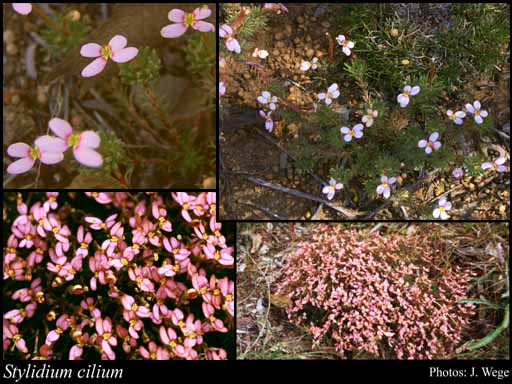 Photo of Stylidium cilium Lowrie, A.H.Burb. & Kenneally