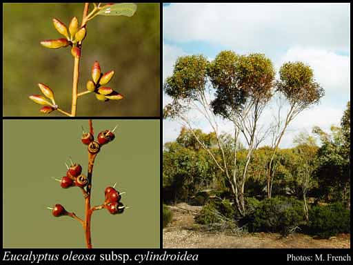 Photo of Eucalyptus oleosa subsp. cylindroidea L.A.S.Johnson & K.D.Hill