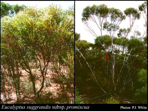 Photo of Eucalyptus suggrandis subsp. promiscua D.Nicolle & Brooker