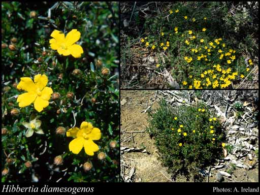 Photo of Hibbertia diamesogenos (Steud.) J.R.Wheeler