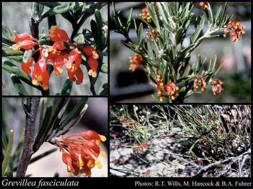 Photo of Grevillea fasciculata R.Br.