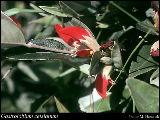 Photo of Gastrolobium celsianum (Lemaire) G.Chandler & Crisp