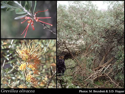 Photo of Grevillea olivacea A.S.George