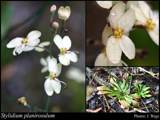 Photo of Stylidium planirosulum Wege