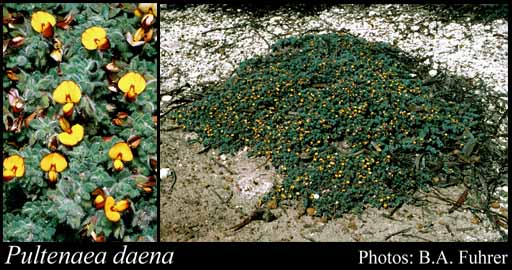 Photo of Pultenaea daena Orthia & Chappill